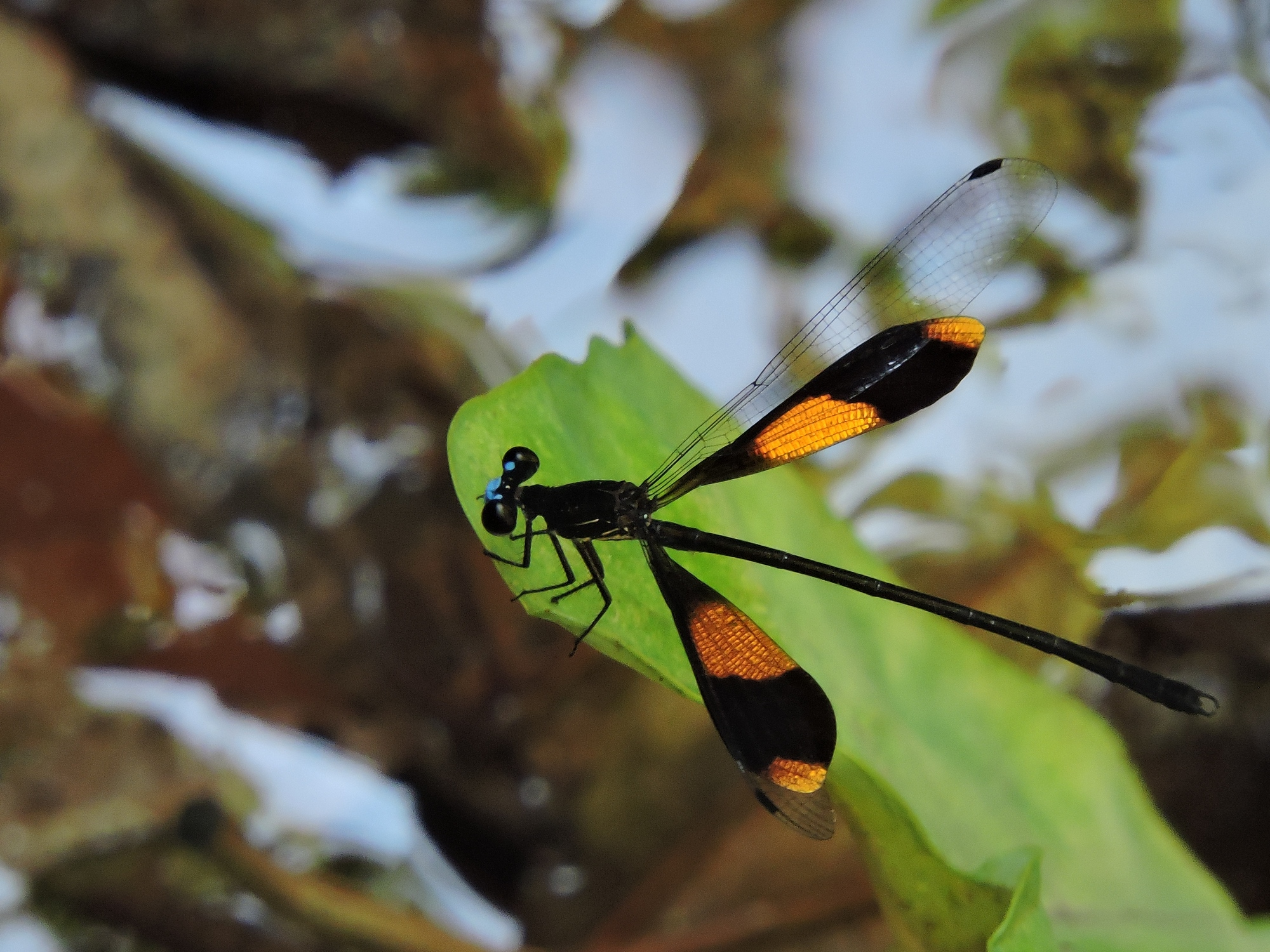 order odonata Introduction the odonata, comprising damsel- and dragonflies, are the second order of palaeopteran insects and share with them the archaic wing articulationfossil odonata are known from the late paleozoic.