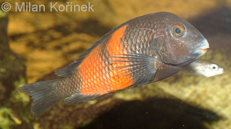 Red banded moorii cichlid