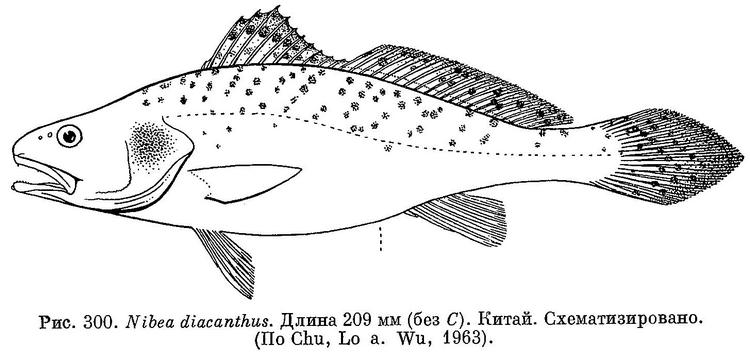 Protonibea diacanthus