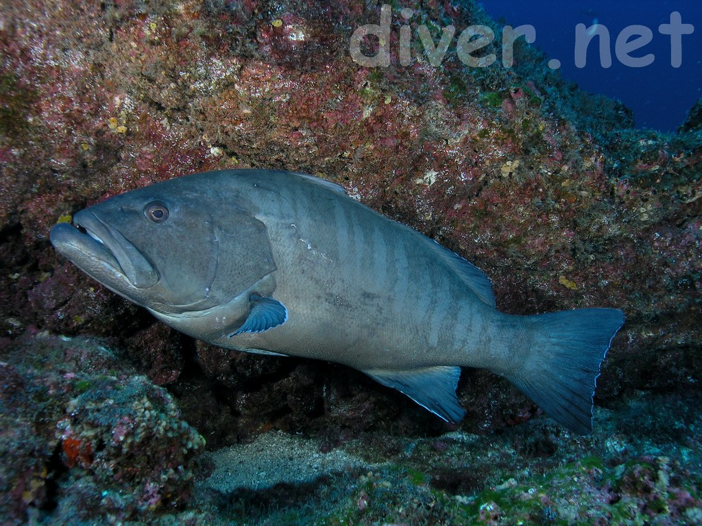 Porn with grouper dating stories breathholding underwater