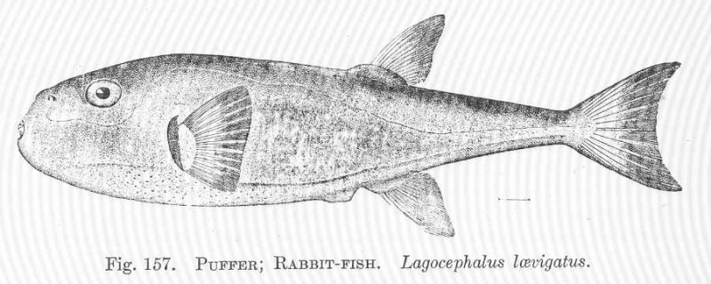 Rabbit fish puffer